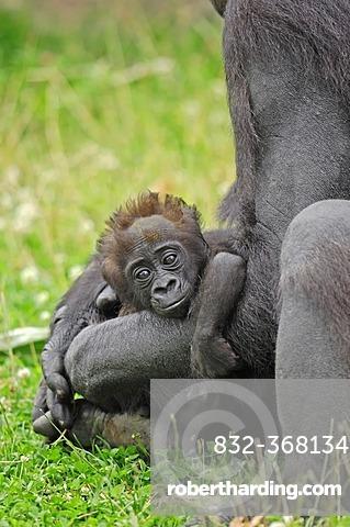 Western Lowland Gorilla (Gorilla gorilla gorilla), juvenile, native to Africa, in captivity, Netherlands, Europe