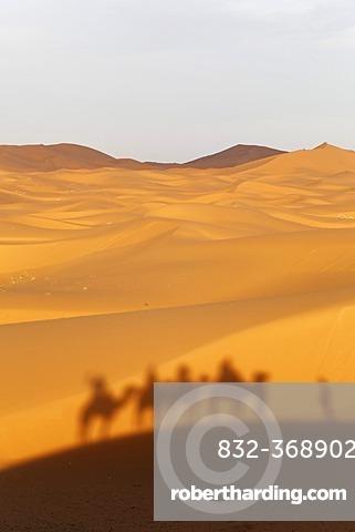 A caravan is casting a shadow on the dunes, Dromedary or Arabian Camels (Camelus dromedarius) near the sand dunes of Erg Chebbi, Erfoud, Meknès-Tafilalet, Morocco, Maghreb, North Africa, Africa