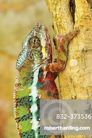 Panther Chameleons (Furcifer pardalis), male