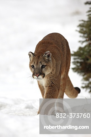 Cougar (Felis concolor), adult, foraging, snow, winter, Montana, USA