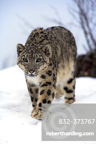 Snow leopard (Uncia uncia), adult, walking, snow, winter, Asia