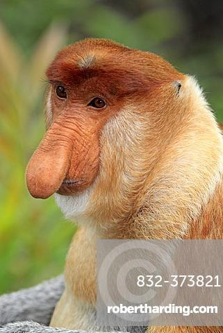 Proboscis Monkey or Long-nosed monkey (Nasalis larvatus), male, portrait, Labuk Bay, Sabah, Borneo, Malaysia, Asia