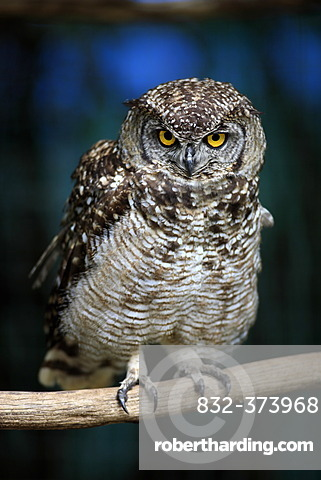 Spotted Eagle-Owl (Bubo africanus), perched on branch, South Africa, Africa