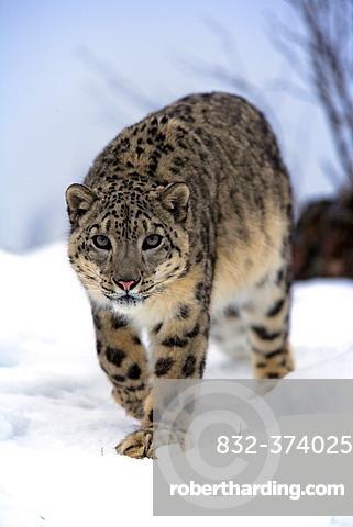 Snow leopard (Uncia uncia), adult, snow, captive, Montana, USA