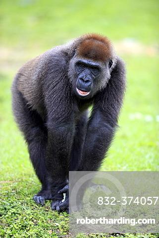 Western Lowland Gorilla (Gorilla gorilla), juvenile, captive, Florida, USA, North America