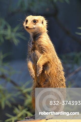 Meerkat or Surikate (Suricata suricatta), native to Africa, captive, Baden-Wuerttemberg, Germany, Europe