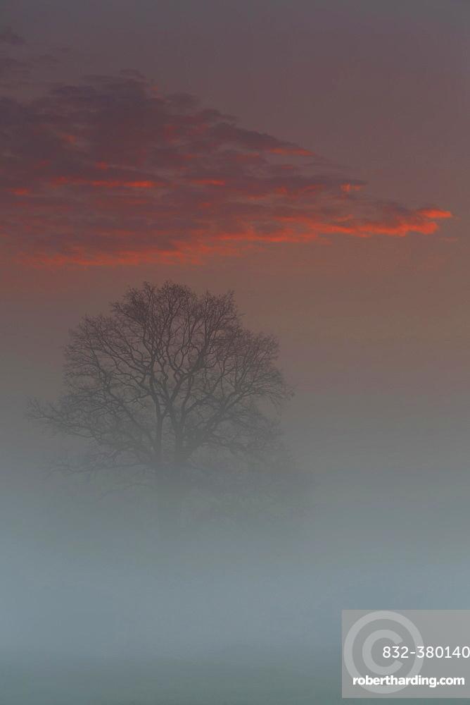 Spring mist above the floodplain meadows, solitary oak tree at sunrise, Middle Elbe Biosphere Reserve, Saxony-Anhalt, Germany, Europe