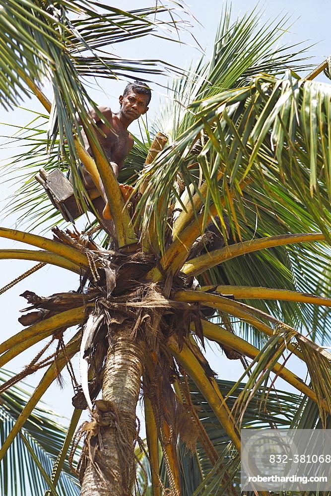 Toddy Tapper on coconut tree collecting palm juice, Wadduwa, Western Province, Ceylon, Sri Lanka, Asia