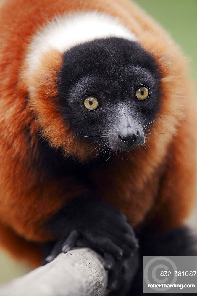 Red Ruffed Lemur (Varecia variegata rubra, Varecia variegata ruber), native to Madagascar, captive, Germany, Europe
