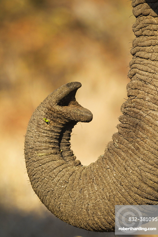 African Elephant (Loxodonta africana), close-up of the trunk, Kruger National Park, South Africa, Africa