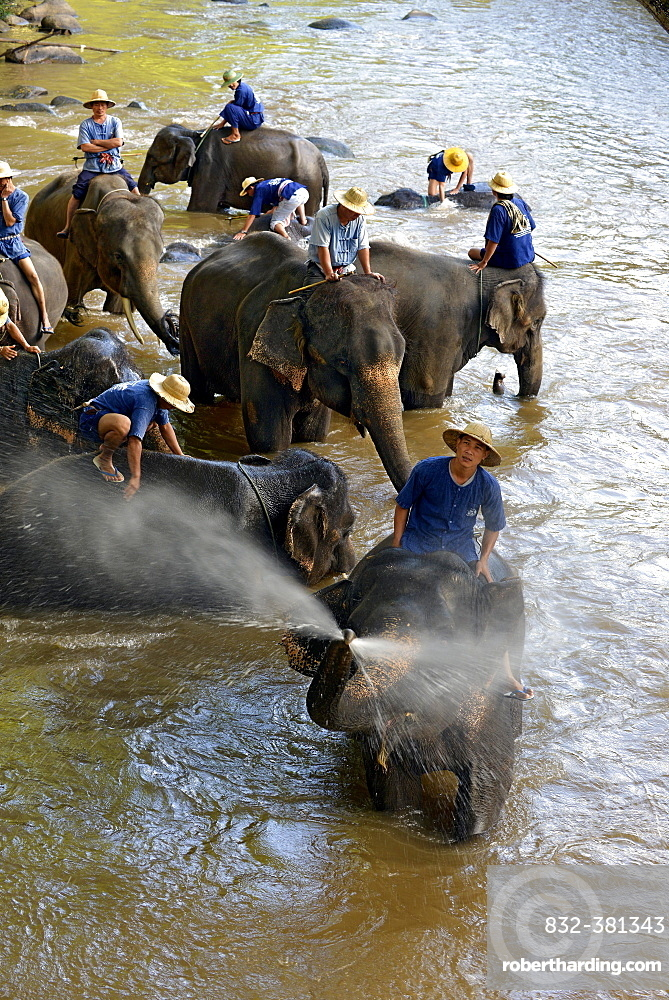 Mahouts bathing their Asian or Asiatic Elephants (Elephas maximus) in the Mae Tang River, Maetaman Elephant Camp, Chiang Mai Province, Northern Thailand, Thailand, Asia