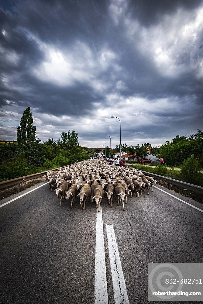 Large flock of sheep during the transhumance, region of Soria, Castilla y Leon, Spain, Europe