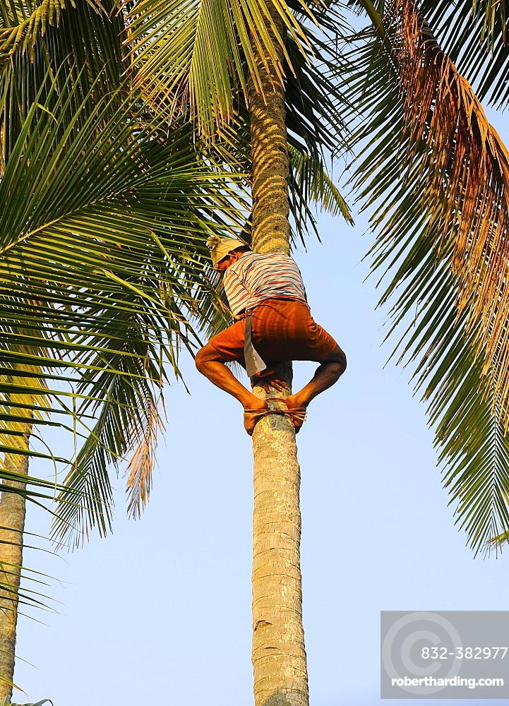 Man climbing a coconut tree, Kerala, South India, India, Asia