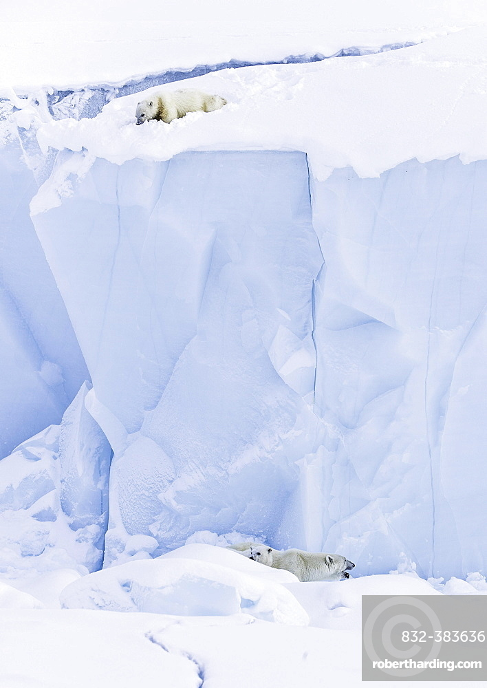 Polar bears (Ursus maritimus), cub , 15 months old, looks down onto mother animal and sibling from an iceberg, Unorganized Baffin, Baffin Island, Nunavut, Canada, North America