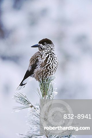 Spotted Nutcracker (Nucifraga caryocatactes), adult perched on frost covered Swiss Stone Pine (Pinus cembra), St. Moritz, Switzerland, Europe