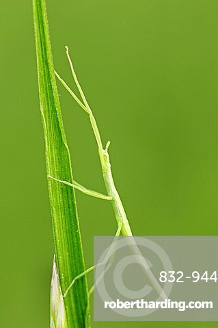 Stick Insect (Bacillus rossius), young, Camargue, Provence, South France, Europe