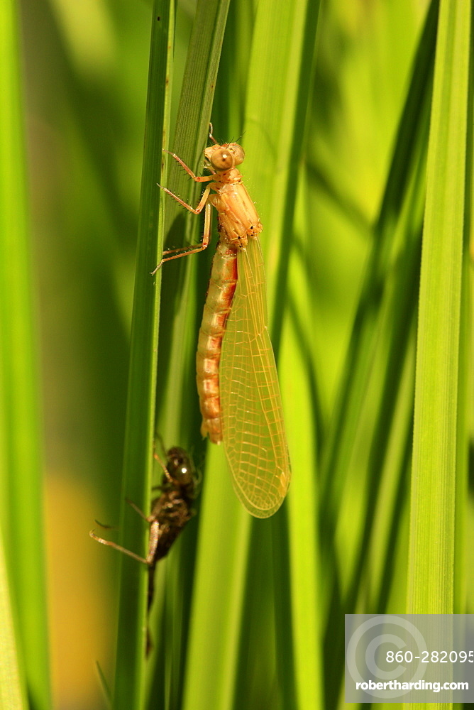 Emergence of Small red Damselfly female on Sedge, France