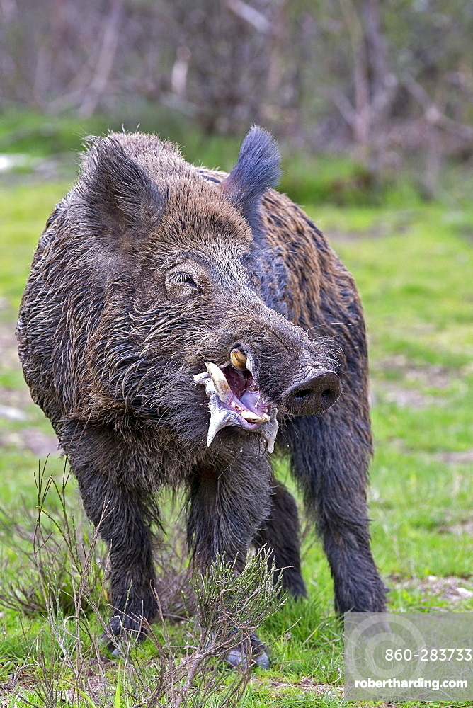 Eurasian wild boar  male drooling before fighting, France