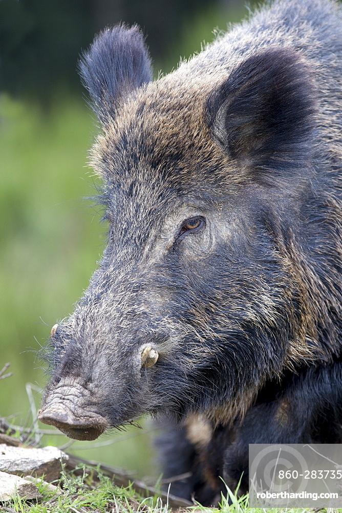 Portrait of Eurasian wild boar male, France