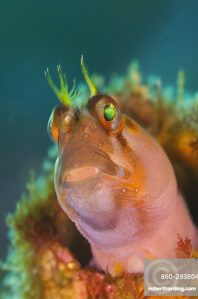 Crested blenny, Poor knights Island New Zealand