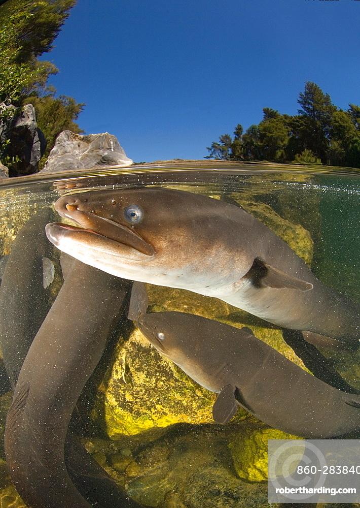 Longfin eel under surface, New Zealand