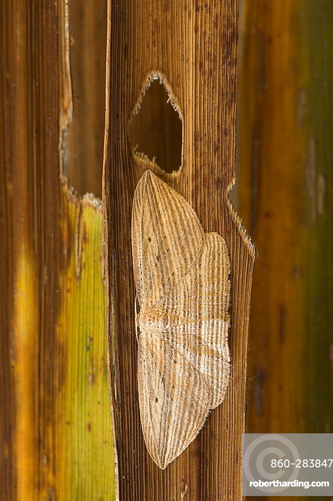 Cabbage tree moth counter shading, New Zealand