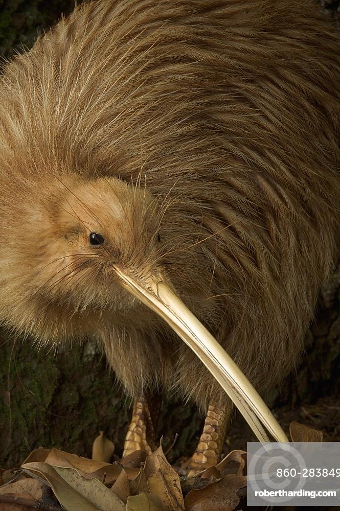 Portrait of Brown Kiwi- New Zealand