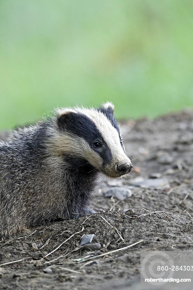 Eurasian Badger in mud, Wales UK