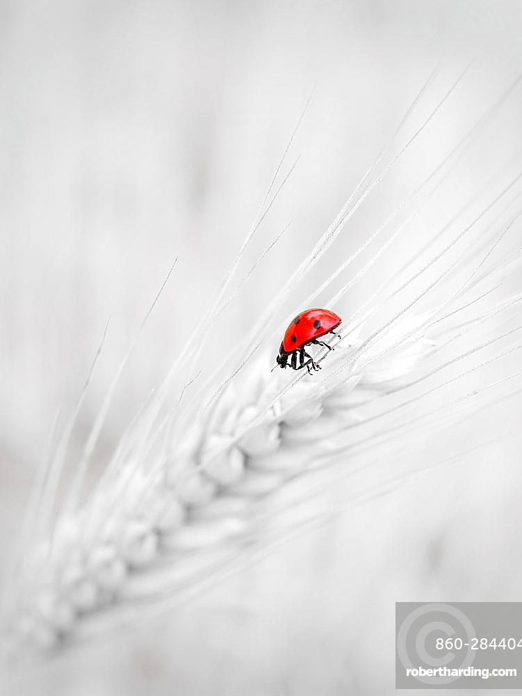 Seven-spot ladybird on an ear of corn, France
