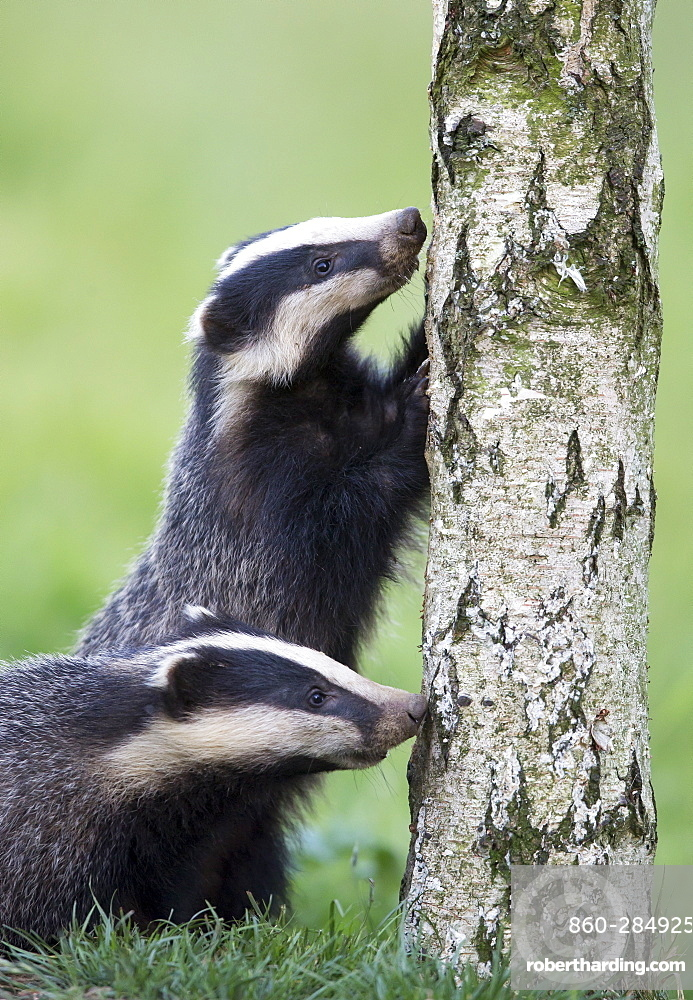 Badgerx foraging on a dead tree at spring GB