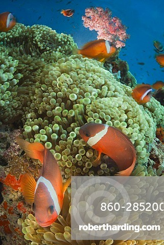 Pink anemonefishes in sea anemones, Fiji Islands