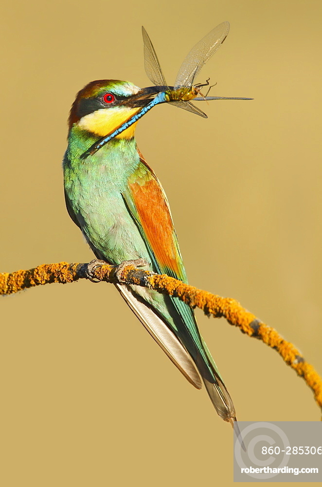 European Bee-eater with prey on a branch, Spain