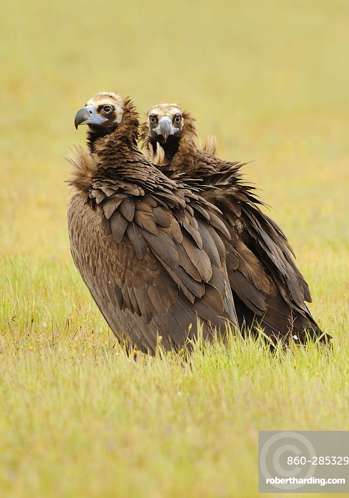 Monk Vultures in grass, Spain