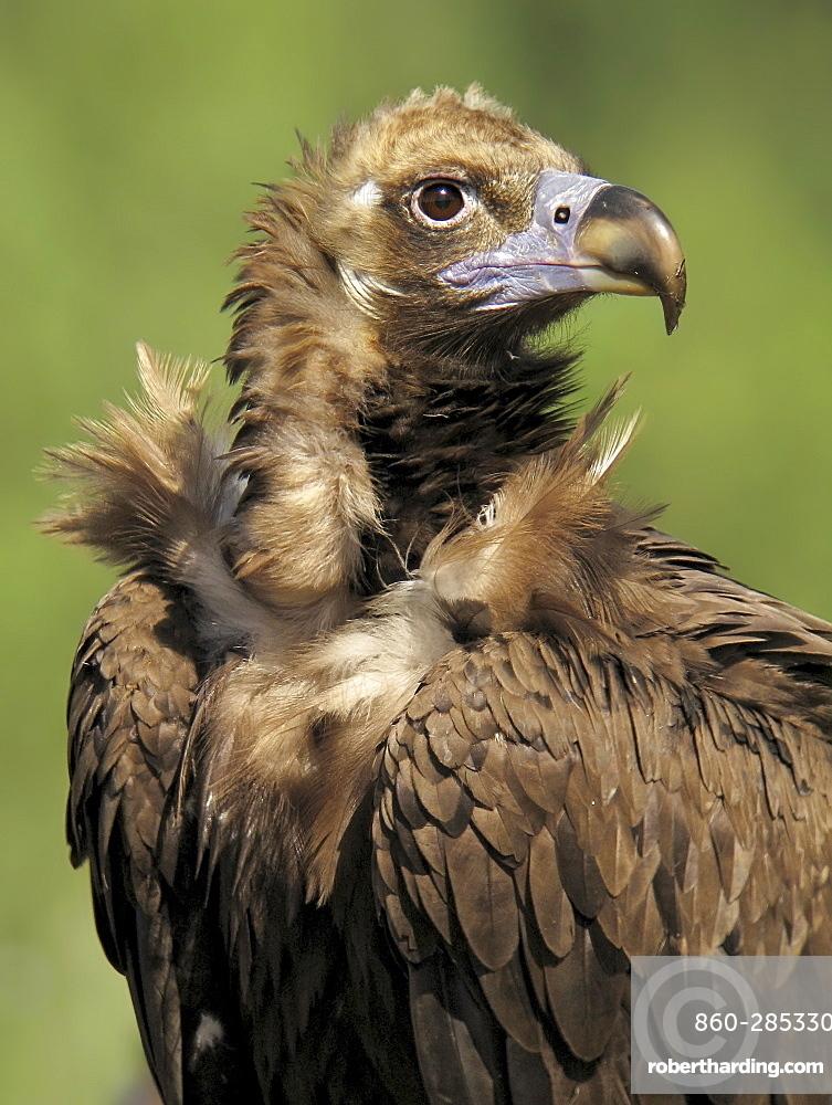 Portrait of Monk Vulture, Spain