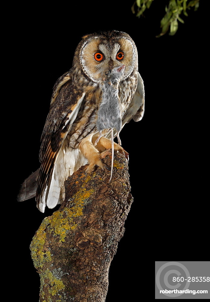 Long-eared Owl eating a mouse at night, Spain