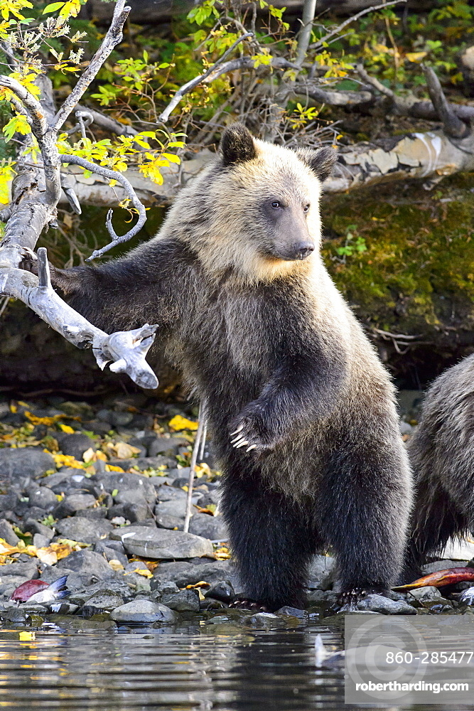 Grizzly bear cub standing on a riverside in Canada