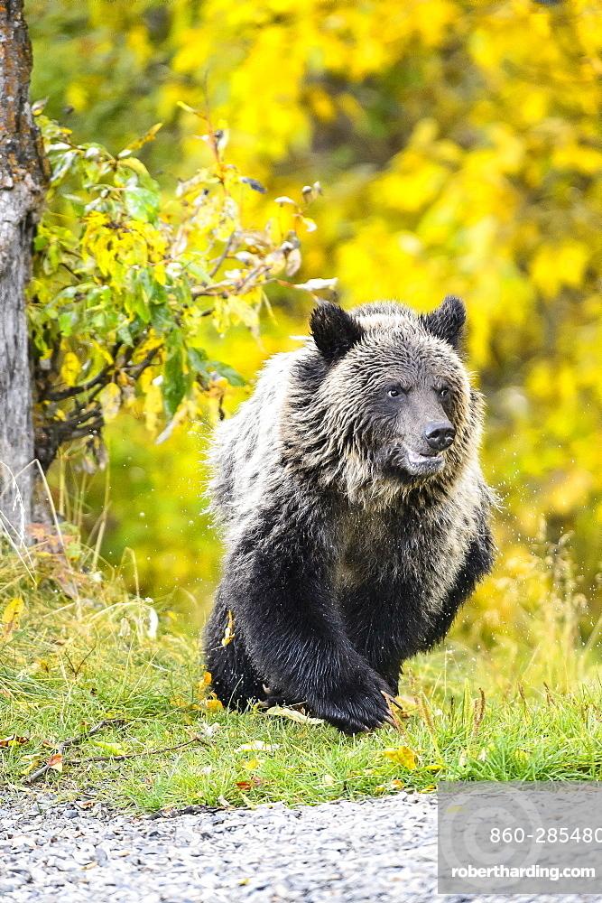 Grizzly bear cub walking in Canada