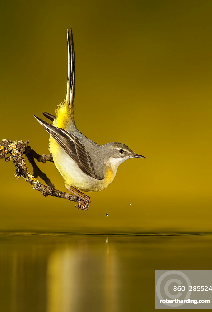 Grey Wagtail on a branch and its reflection, Spain
