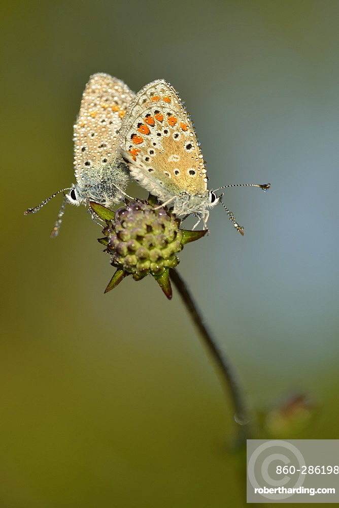 Adonis blue mating on a flower, Prairie Fouzon