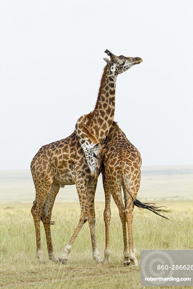 Kenya, Masai-Mara Game Reserve, Girafe masai (Giraffa camelopardalis), males fighting