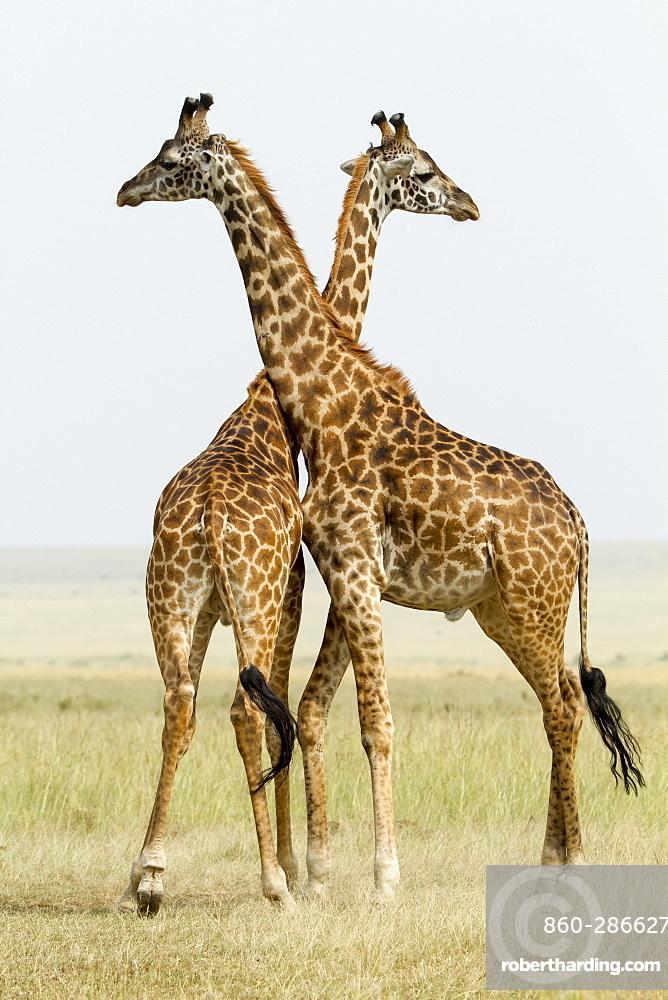 Kenya, Masai-Mara Game Reserve, Girafe masai (Giraffa camelopardalis), males