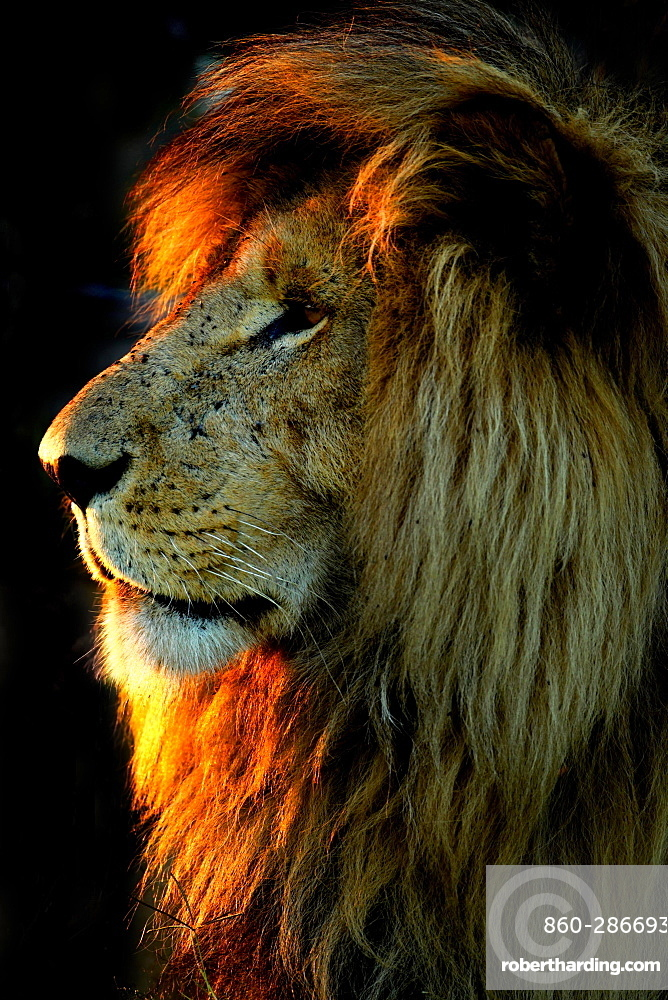 """Portrait of Lion (Panthera leo) male, Masai Mara , Kenya. The famous """"Scarface"""" , the lion of the Marais Musiara disfigured on the right eye. This photo shows the so his """" good side """" ."""