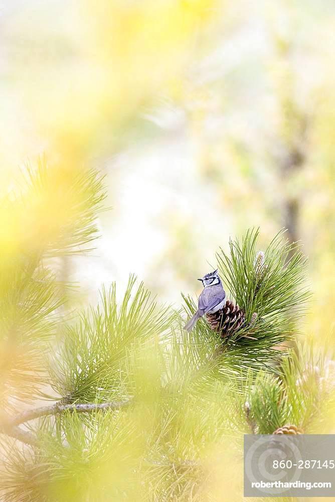 Crested Tit (Lophophanes cristatus) on Pine tree, La-Palud-sur-Verdon, Verdon Regional Nature Park, Alpes de Haute Provence, France