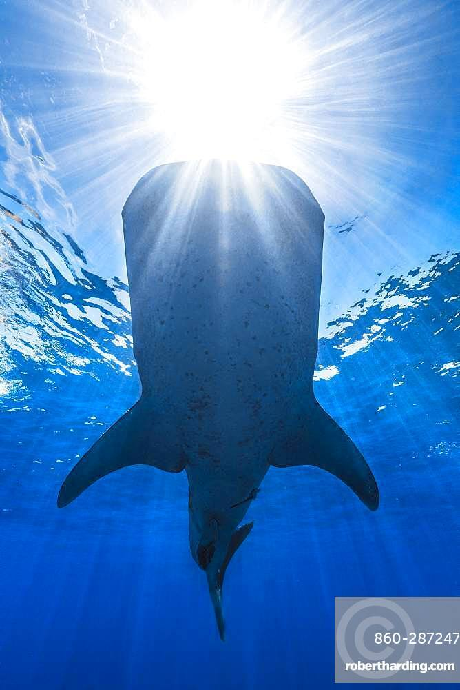 Whale shark (Rhincodon typus) in daylight, Nosy Be, Madagascar