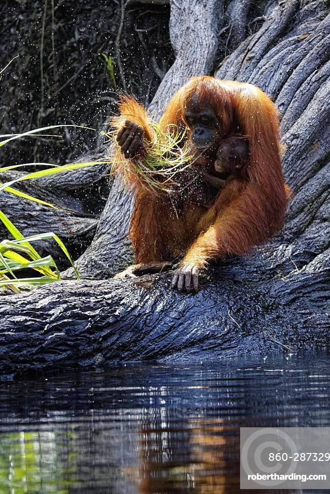 Orang utan (Pongo pygmaeus) with young, Tanjung Puting, Kalimantan, Indonesia