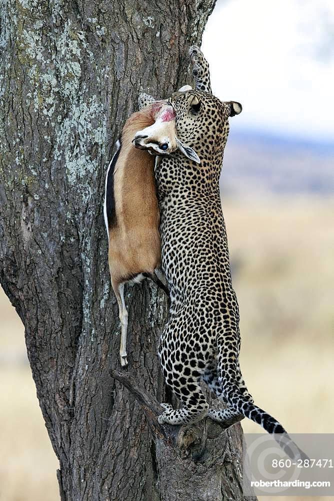 Leopard (Panthera pardus) in a tree with Thomson's gazelle (Eudorcas thomsonii), Serengeti, Tanzania