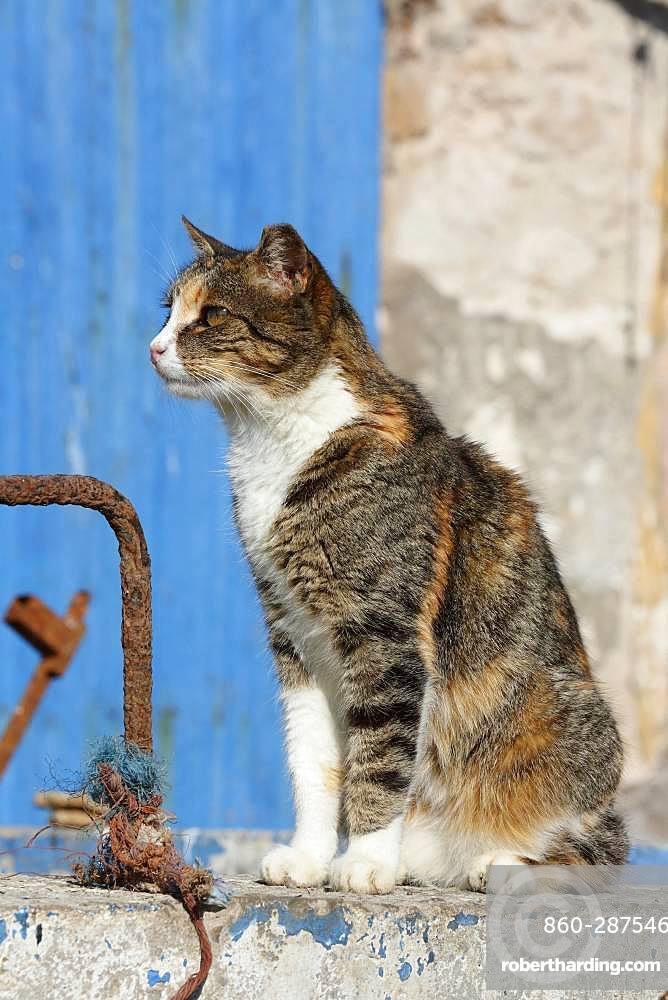 Cat sitting on a wall, Port of Essaouira, Morocco