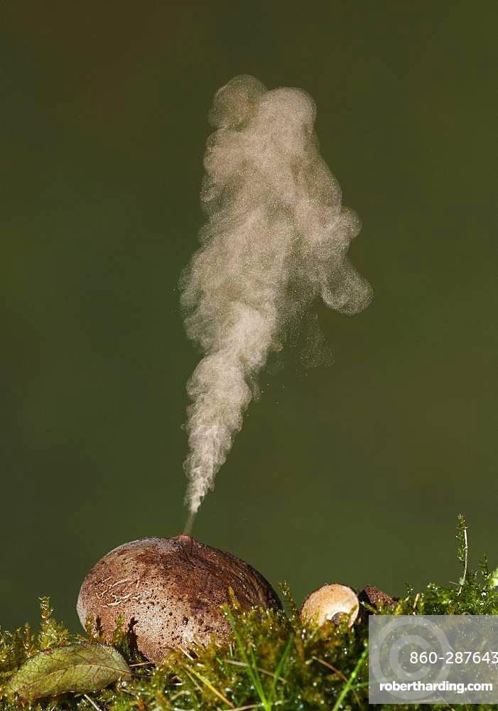Common puffball (Lycoperdon perlatum) expelling spores, Spain