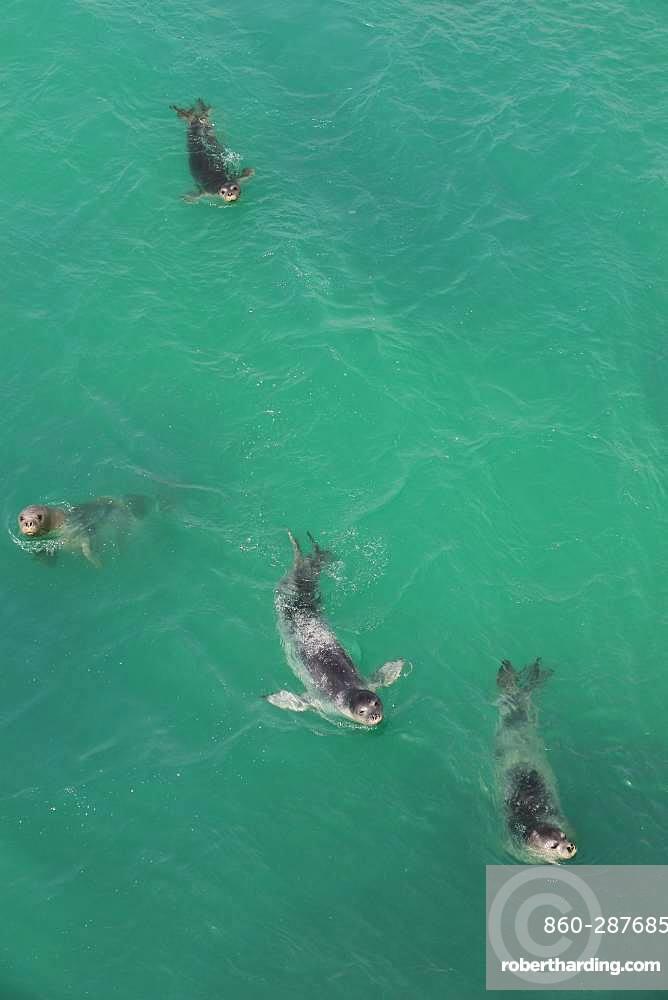 Monk Seal (Monachus monachus) group swimming, Nouadhibou, Mauritania
