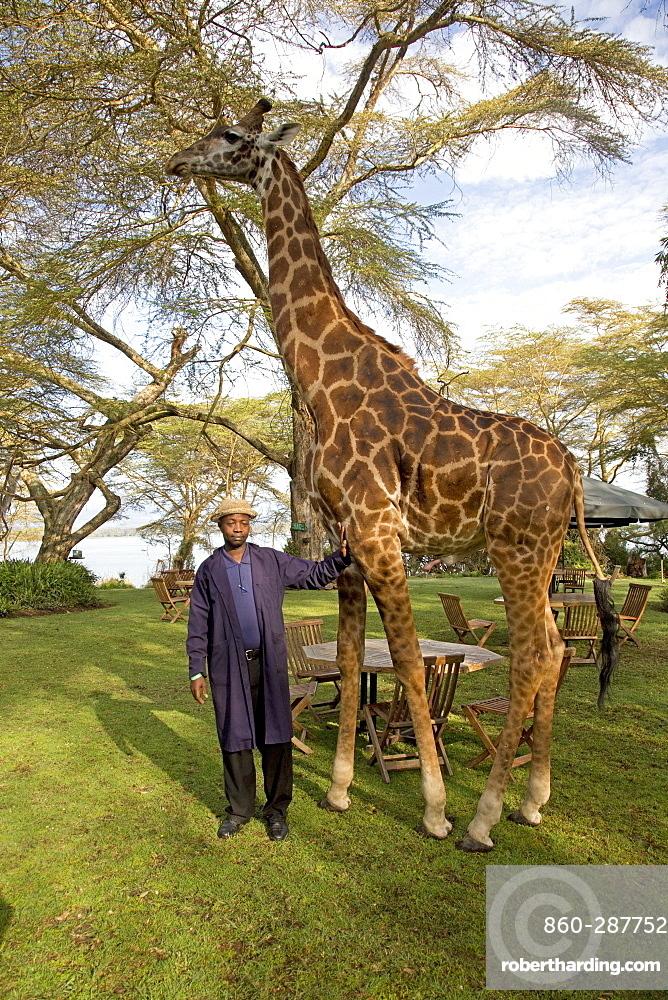 Elsamere staff member poses with Eric a person-friendly giraffe at Elsamere Naivasha Kenya